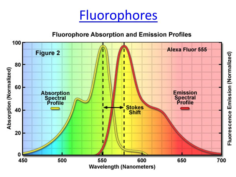 FLIM - advantages In this method we measure the lifetime of the excited state and not the fluorescence intensity, therefore: We can separate fluorophores with similar spectra.