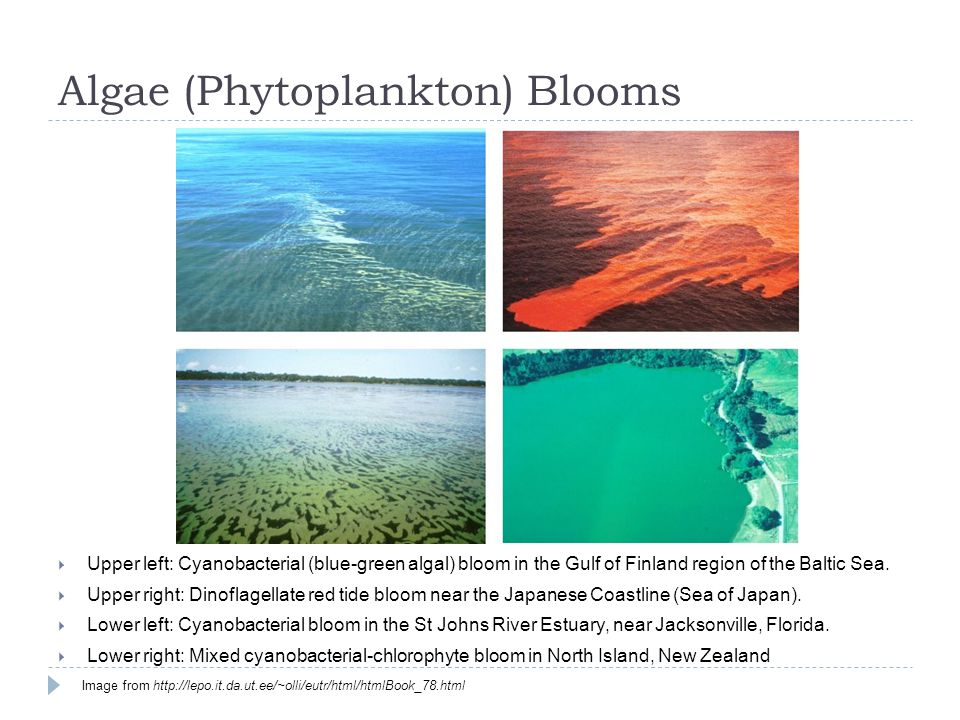 Algae (Phytoplankton) Blooms  Upper left: Cyanobacterial (blue-green algal) bloom in the Gulf of Finland region of the Baltic Sea.