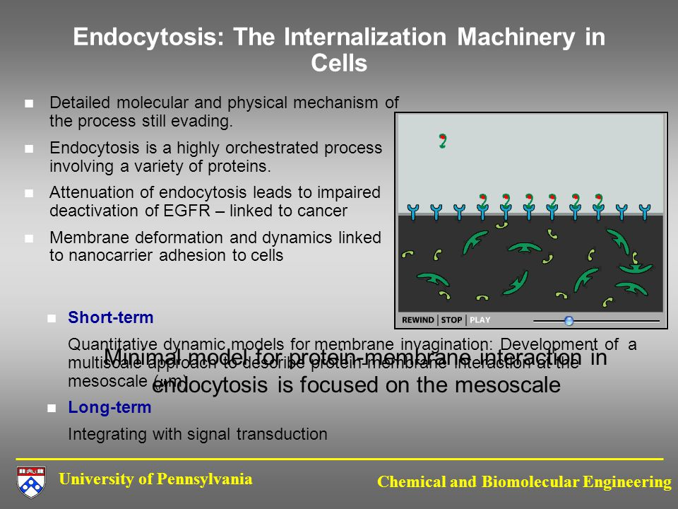 University of Pennsylvania Chemical and Biomolecular Engineering Endocytosis: The Internalization Machinery in Cells Detailed molecular and physical mechanism of the process still evading.