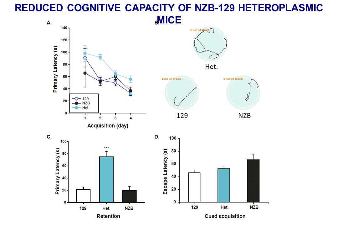 REDUCED COGNITIVE CAPACITY OF NZB-129 HETEROPLASMIC MICE