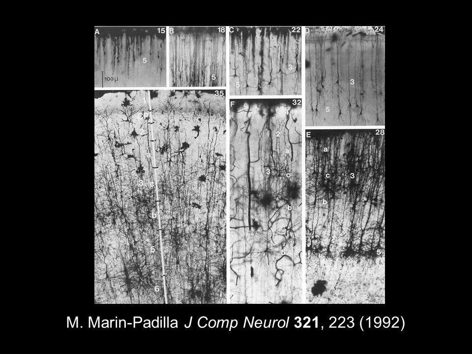 M. Marin-Padilla J Comp Neurol 321, 223 (1992)