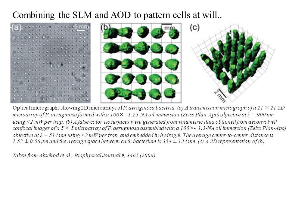 Optical micrographs showing 2D microarrays of P. aeruginosa bacteria.