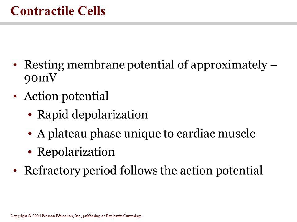 Copyright © 2004 Pearson Education, Inc., publishing as Benjamin Cummings Resting membrane potential of approximately – 90mV Action potential Rapid de