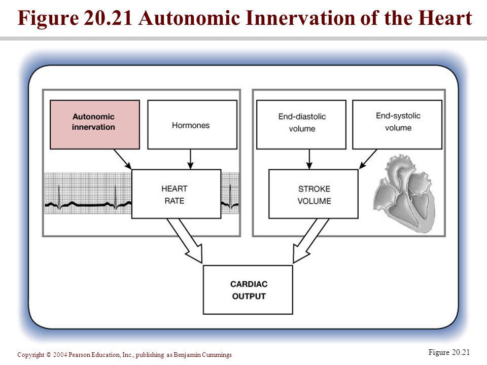 Copyright © 2004 Pearson Education, Inc., publishing as Benjamin Cummings Figure 20.21 Autonomic Innervation of the Heart Figure 20.21