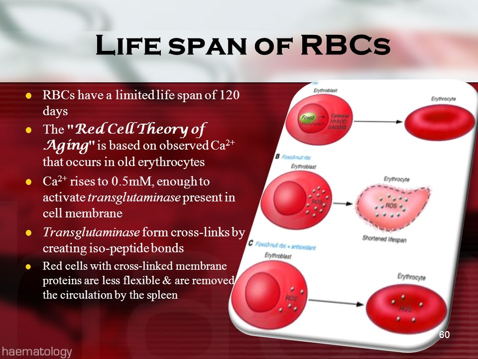Life span of RBCs RBCs have a limited life span of 120 days The