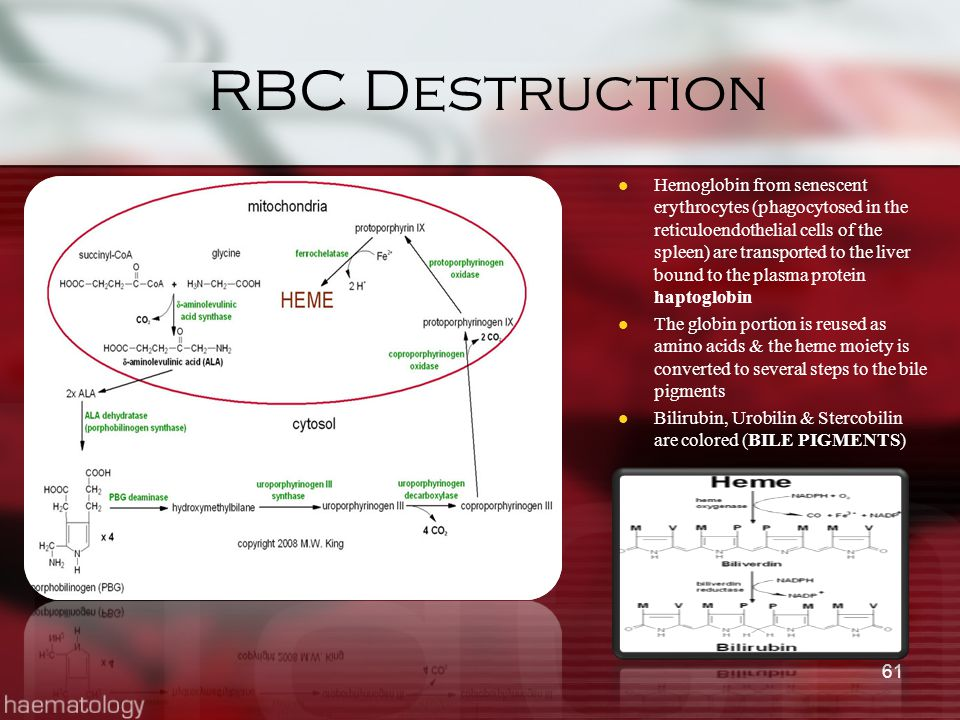 RBC Destruction Hemoglobin from senescent erythrocytes (phagocytosed in the reticuloendothelial cells of the spleen) are transported to the liver boun