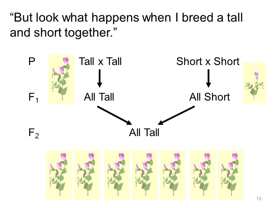 But look what happens when I breed a tall and short together. P Tall x Tall Short x Short F 1 All Tall All Short F 2 All Tall 18