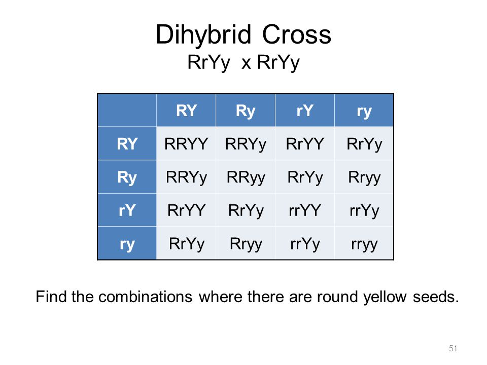 Dihybrid Cross RrYy x RrYy 51 Find the combinations where there are round yellow seeds.