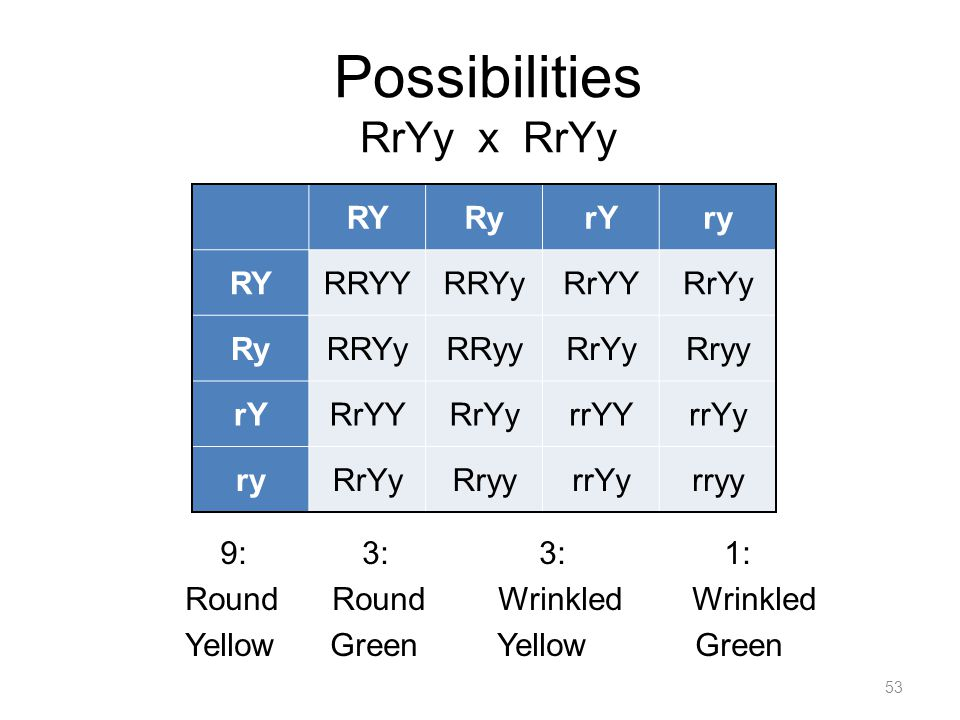 Possibilities RrYy x RrYy 9: 3: 3: 1: Round Round Wrinkled Wrinkled Yellow Green 53 RYRyrYry RYRRYYRRYyRrYYRrYy RyRRYyRRyyRrYyRryy rYRrYYRrYyrrYYrrYy ryRrYyRryyrrYyrryy