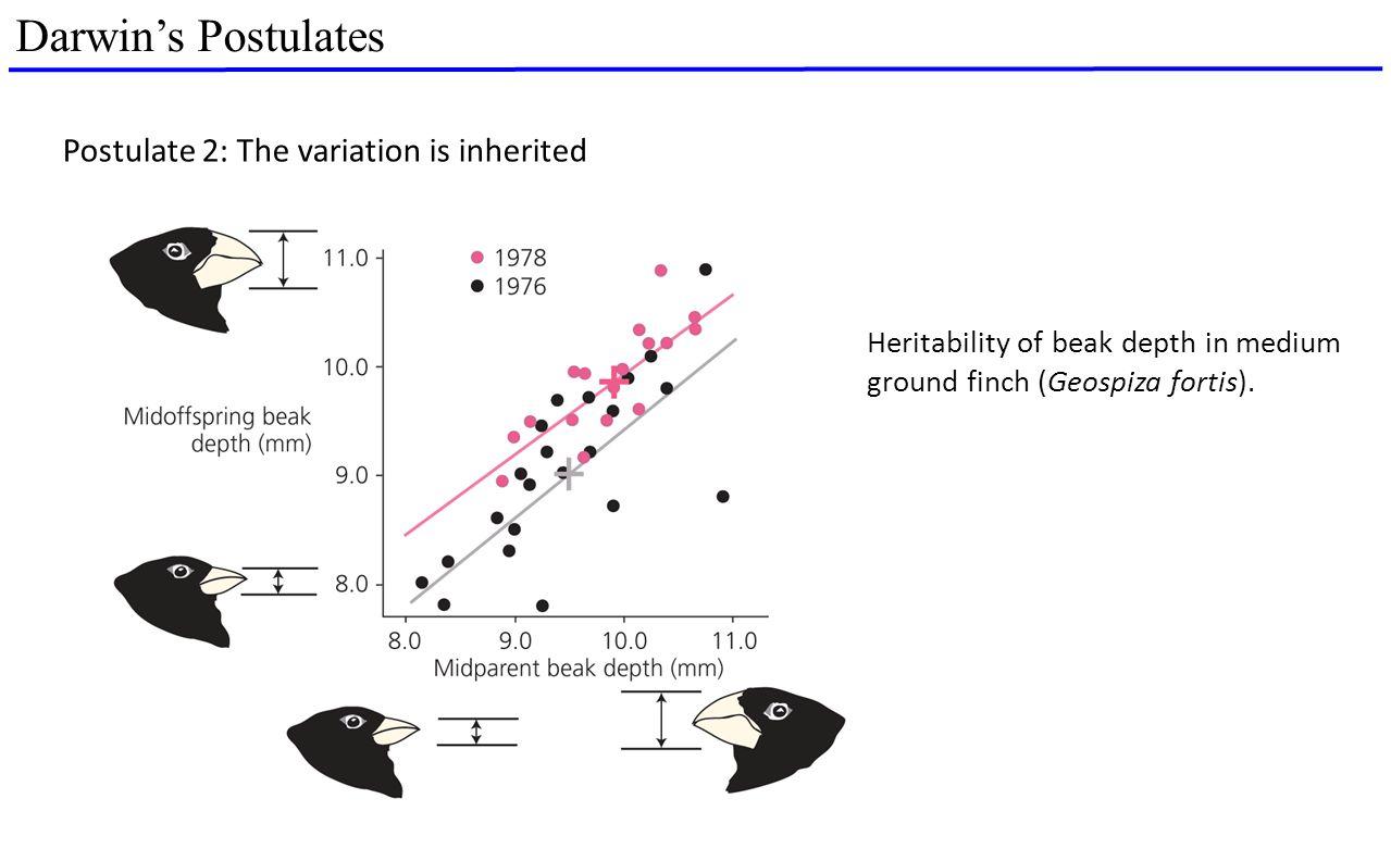 Darwin's Postulates Heritability of beak depth in medium ground finch (Geospiza fortis). Postulate 2: The variation is inherited