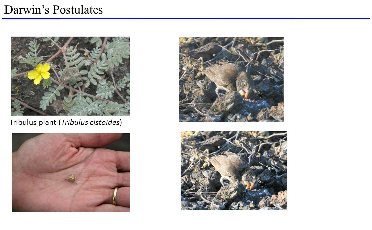 Darwin's Postulates Tribulus plant (Tribulus cistoides)