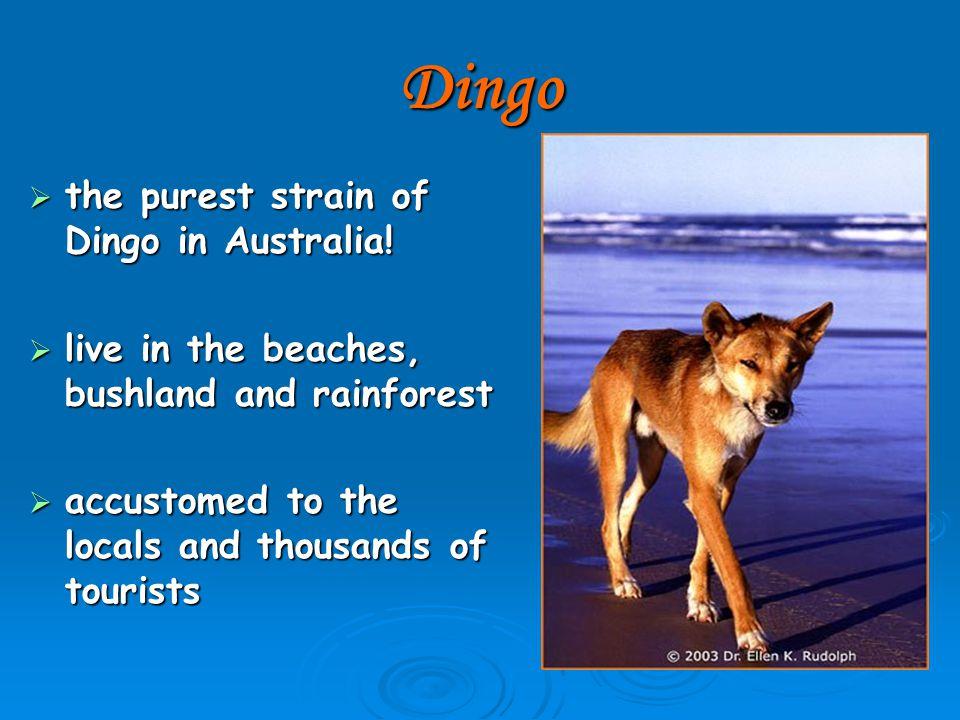Dingo  the purest strain of Dingo in Australia.