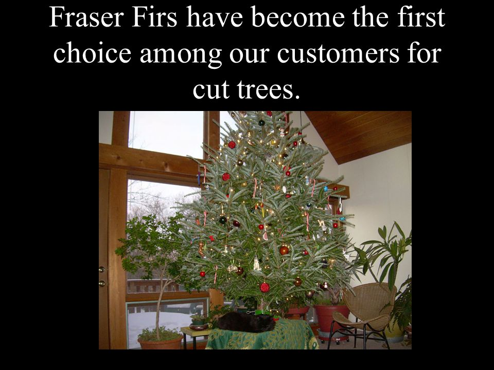 Fraser Firs have become the first choice among our customers for cut trees.