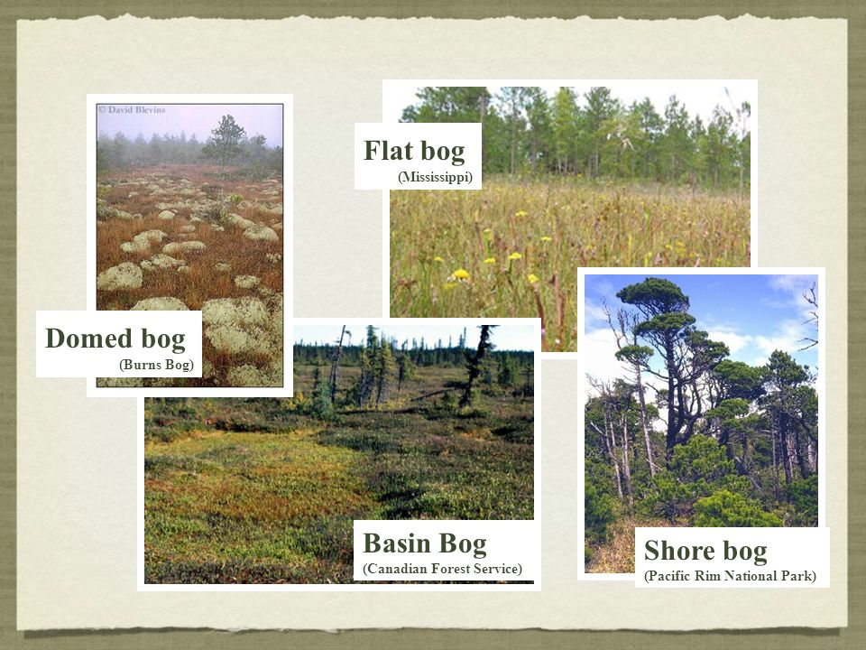 Basin Bog (Canadian Forest Service) Domed bog (Burns Bog) Flat bog (Mississippi) Shore bog (Pacific Rim National Park)