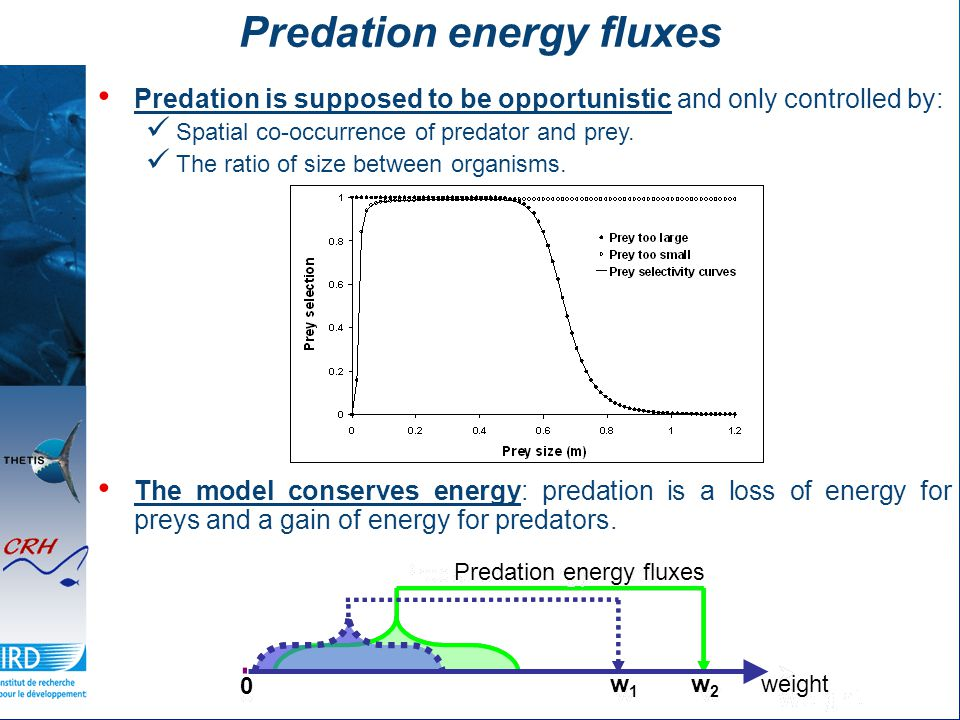 Predation energy fluxes Predation is supposed to be opportunistic and only controlled by: Spatial co-occurrence of predator and prey.