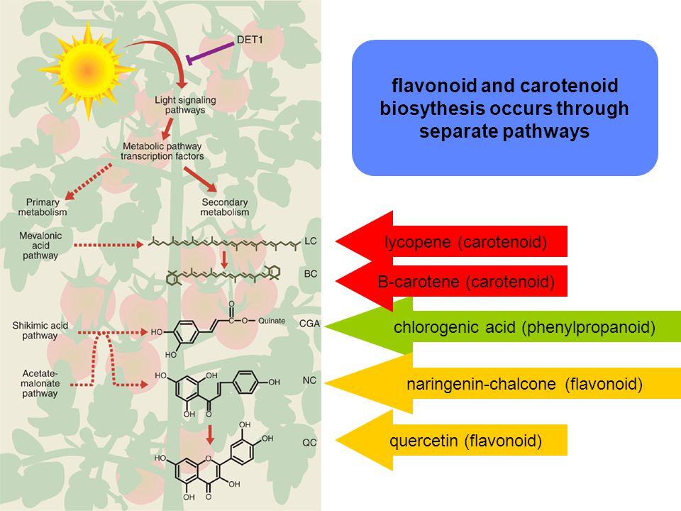 quercetin (flavonoid) flavonoid and carotenoid biosythesis occurs through separate pathways chlorogenic acid (phenylpropanoid) B-carotene (carotenoid) lycopene (carotenoid) naringenin-chalcone (flavonoid)
