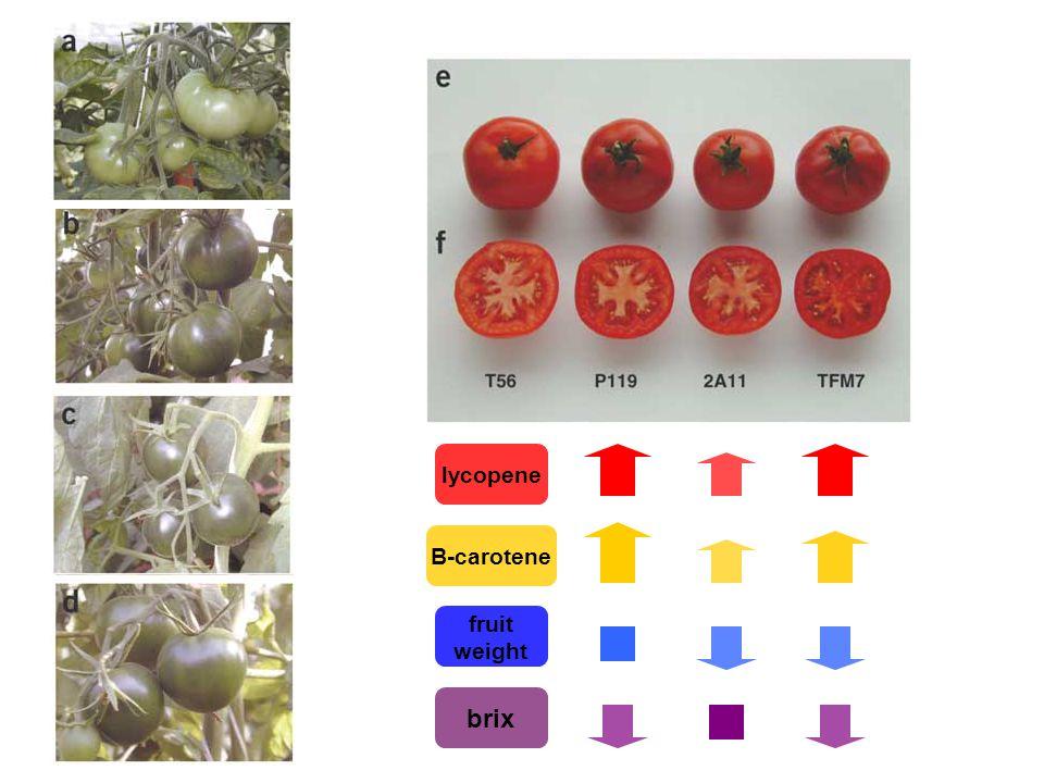 lycopene B-carotene fruit weight brix