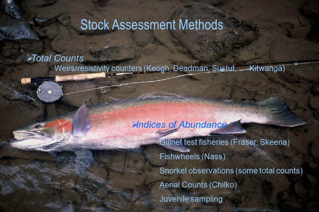 Stock Assessment Methods  Total Counts Weirs/resistivity counters (Keogh, Deadman, Sustut, Kitwanga)  Indices of Abundance Gillnet test fisheries (Fraser, Skeena) Fishwheels (Nass) Snorkel observations (some total counts) Aerial Counts (Chilko) Juvenile sampling