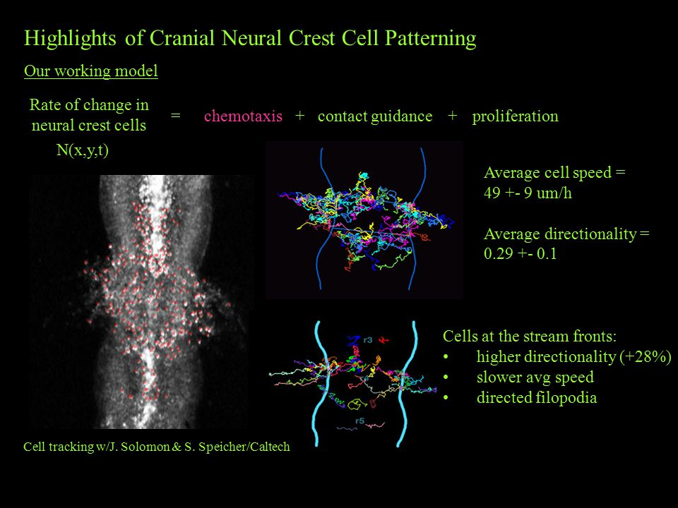 Highlights of Cranial Neural Crest Cell Patterning Our working model Rate of change in neural crest cells =chemotaxis+contact guidanceproliferation+ N(x,y,t) Average cell speed = 49 +- 9 um/h Average directionality = 0.29 +- 0.1 Cells at the stream fronts: higher directionality (+28%) slower avg speed directed filopodia Cell tracking w/J.