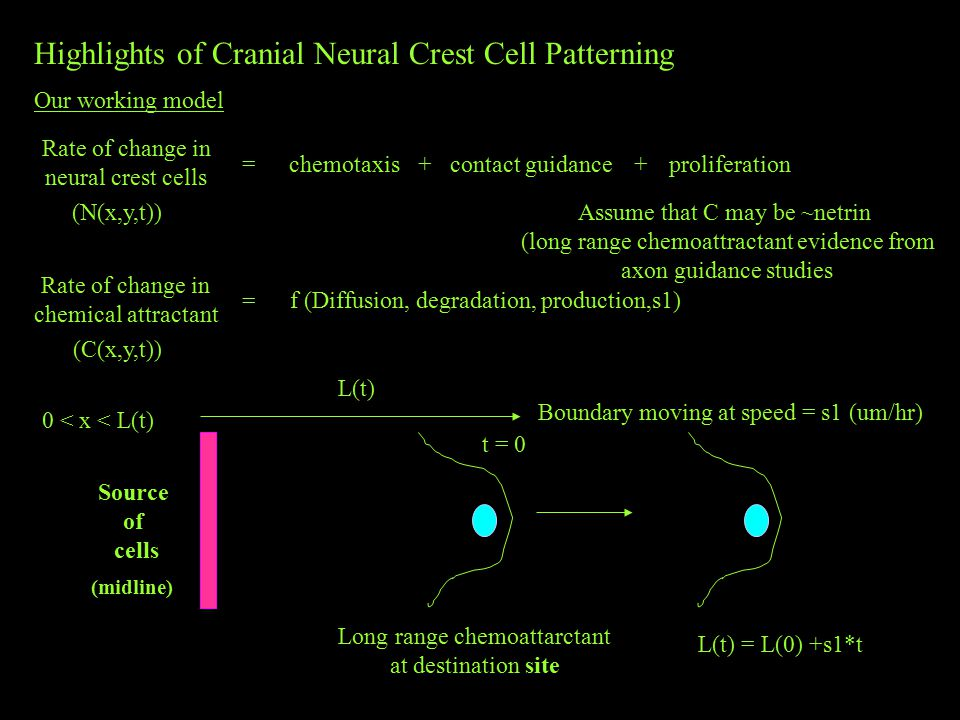 Highlights of Cranial Neural Crest Cell Patterning Our working model Rate of change in neural crest cells =chemotaxis+contact guidanceproliferation+ (N(x,y,t)) Rate of change in chemical attractant = (C(x,y,t)) Source of cells (midline) t = 0 L(t) 0 < x < L(t) Boundary moving at speed = s1 (um/hr) L(t) = L(0) +s1*t f (Diffusion, degradation, production,s1) Long range chemoattarctant at destination site Assume that C may be ~netrin (long range chemoattractant evidence from axon guidance studies