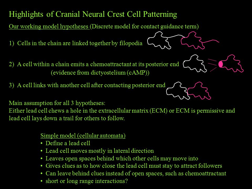 Highlights of Cranial Neural Crest Cell Patterning Our working model hypotheses (Discrete model for contact guidance term) 1) Cells in the chain are linked together by filopodia 2) A cell within a chain emits a chemoattractant at its posterior end 3) A cell links with another cell after contacting posterior end Main assumption for all 3 hypotheses: Either lead cell chews a hole in the extracellular matrix (ECM) or ECM is permissive and lead cell lays down a trail for others to follow.