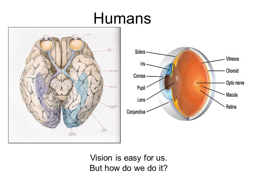 Humans Vision is easy for us. But how do we do it?