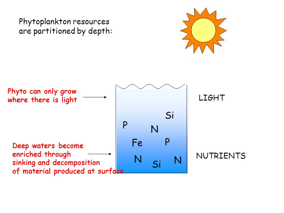 P Si N P N LIGHT NUTRIENTS Phytoplankton resources are partitioned by depth: N Fe Phyto can only grow where there is light Deep waters become enriched through sinking and decomposition of material produced at surface