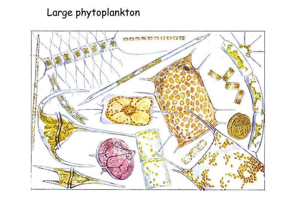 Large phytoplankton