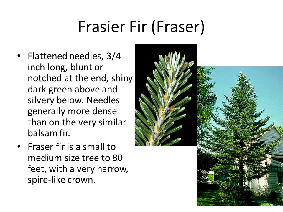 Frasier Fir (Fraser) Flattened needles, 3/4 inch long, blunt or notched at the end, shiny dark green above and silvery below.