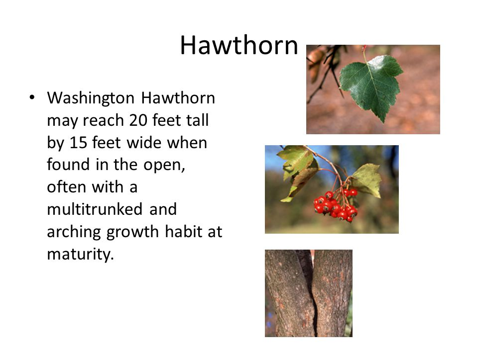 Hawthorn Washington Hawthorn may reach 20 feet tall by 15 feet wide when found in the open, often with a multitrunked and arching growth habit at maturity.