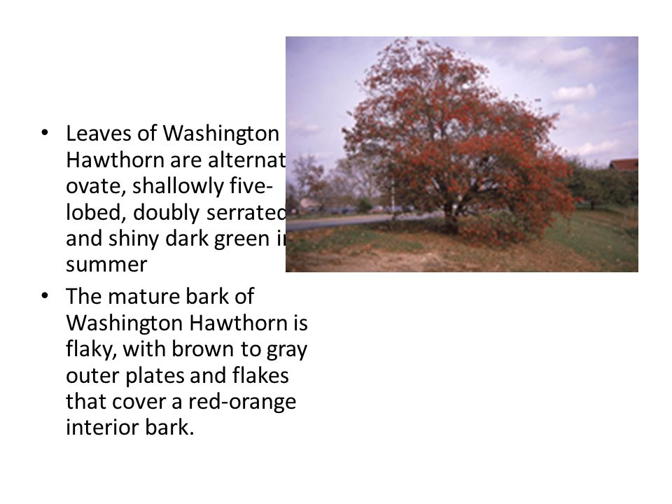 Leaves of Washington Hawthorn are alternate, ovate, shallowly five- lobed, doubly serrated, and shiny dark green in summer The mature bark of Washington Hawthorn is flaky, with brown to gray outer plates and flakes that cover a red-orange interior bark.
