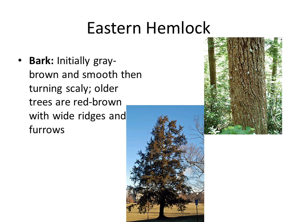 Eastern Hemlock Bark: Initially gray- brown and smooth then turning scaly; older trees are red-brown with wide ridges and furrows