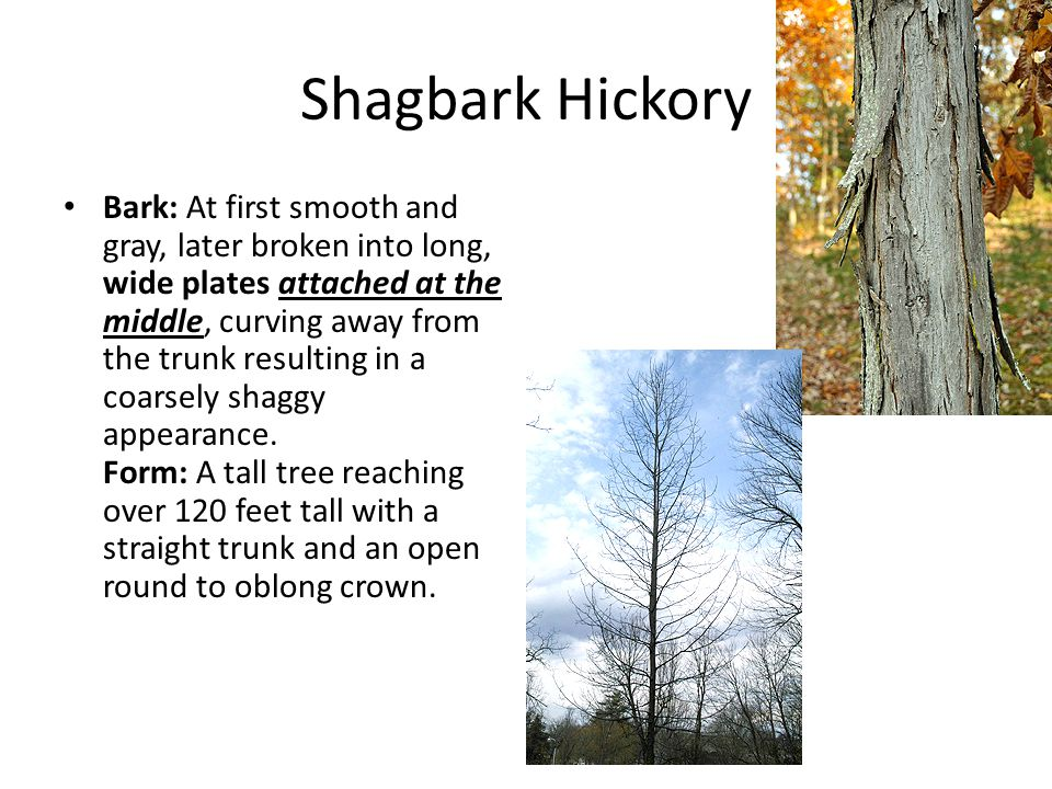 Shagbark Hickory Bark: At first smooth and gray, later broken into long, wide plates attached at the middle, curving away from the trunk resulting in a coarsely shaggy appearance.