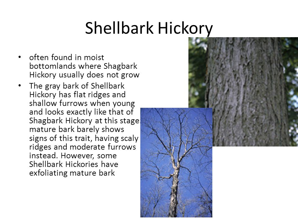 Shellbark Hickory often found in moist bottomlands where Shagbark Hickory usually does not grow The gray bark of Shellbark Hickory has flat ridges and shallow furrows when young and looks exactly like that of Shagbark Hickory at this stage.