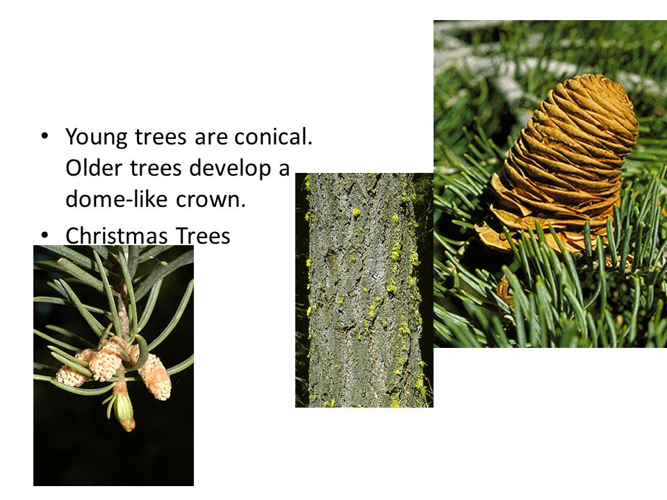 Young trees are conical. Older trees develop a dome-like crown. Christmas Trees
