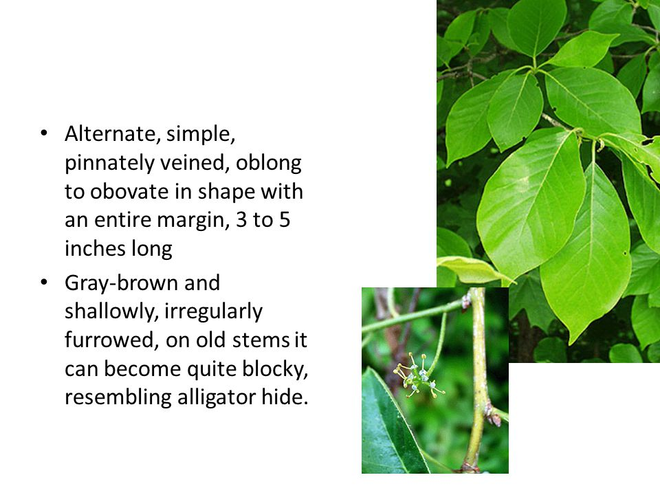 (Greenbriar) Greenbrier It is a prickly, woody, vine which can grow thirty feet high if it has a tree to grow on.