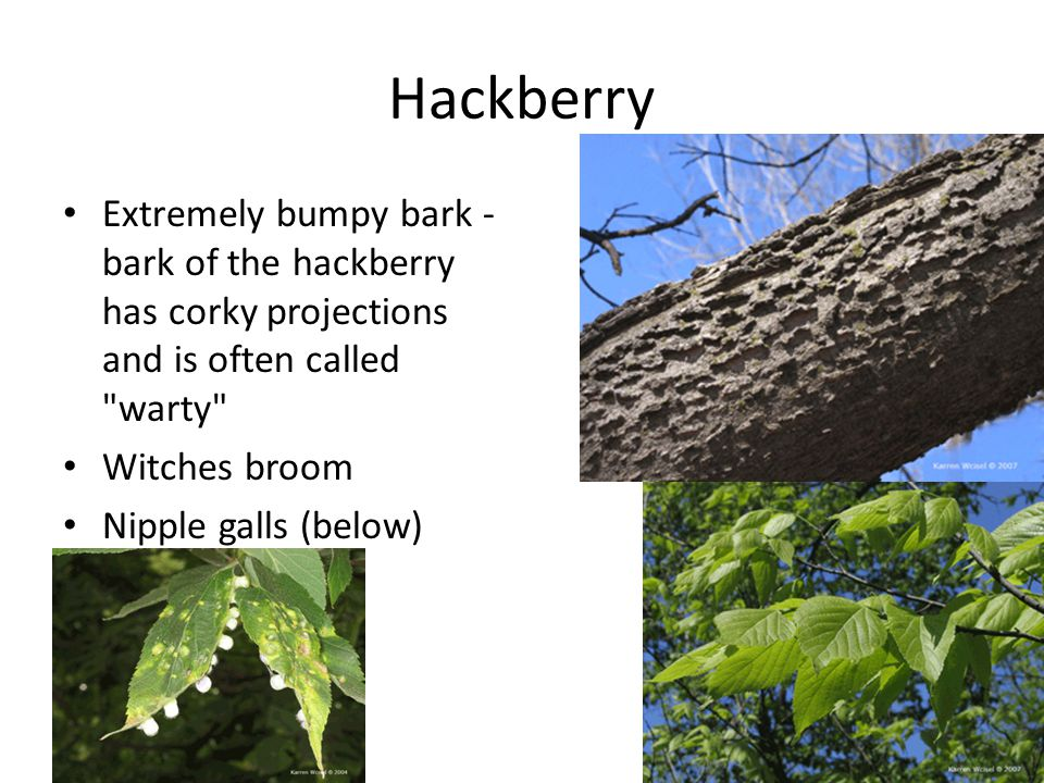Hackberry Extremely bumpy bark - bark of the hackberry has corky projections and is often called warty Witches broom Nipple galls (below)