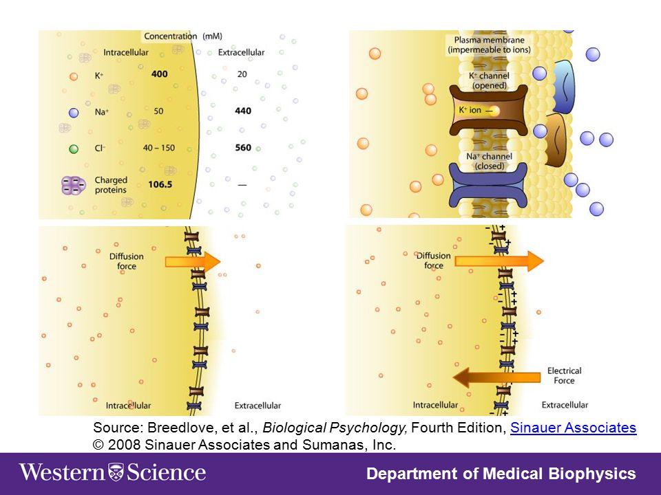 Department of Medical Biophysics Source: Breedlove, et al., Biological Psychology, Fourth Edition, Sinauer Associates © 2008 Sinauer Associates and Su