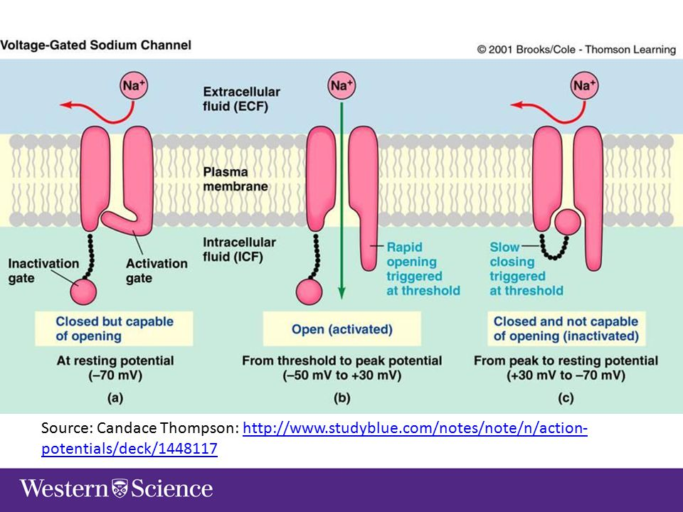 Motivation Why model an action potential.