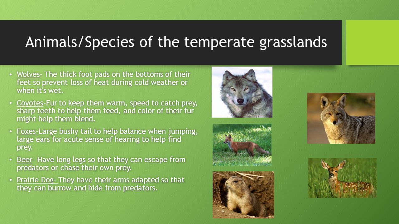 Animals/Species of the temperate grasslands Wolves- The thick foot pads on the bottoms of their feet so prevent loss of heat during cold weather or when it s wet.