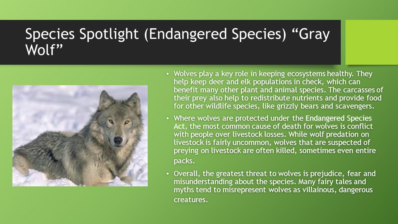 Species Spotlight (Endangered Species) Gray Wolf Wolves play a key role in keeping ecosystems healthy.