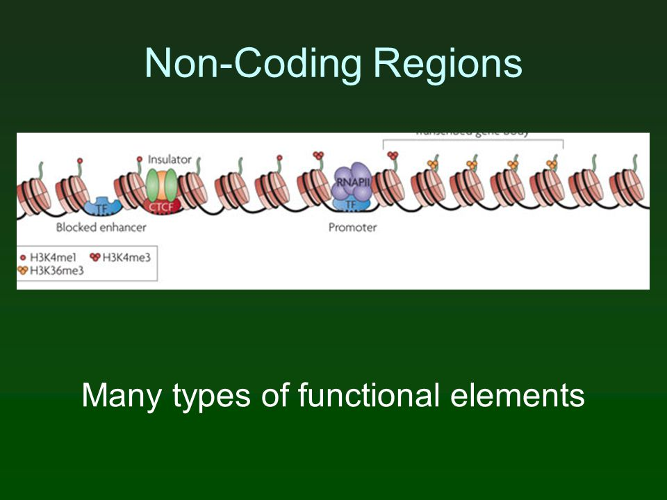 Non-Coding Regions Many types of functional elements