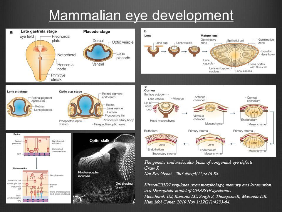 Mammalian eye development Photoreceptor neurons Optic stalk Developing brain The genetic and molecular basis of congenital eye defects. Graw J. Nat Re