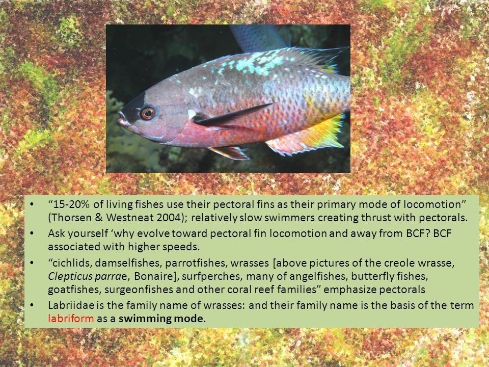 15-20% of living fishes use their pectoral fins as their primary mode of locomotion (Thorsen & Westneat 2004); relatively slow swimmers creating thrust with pectorals.