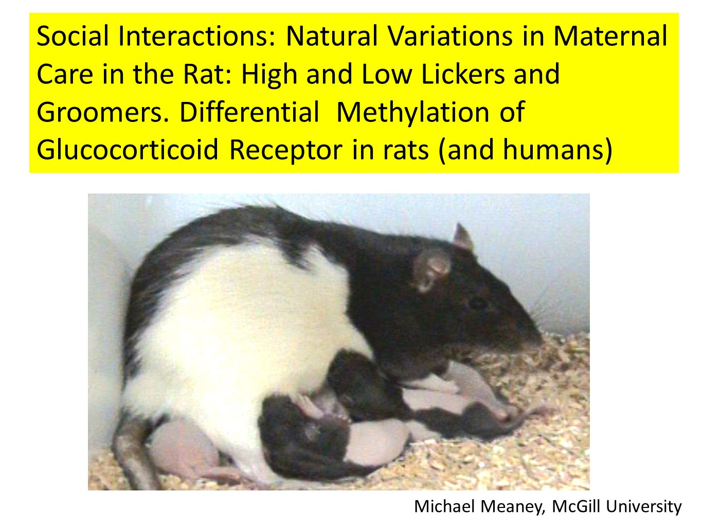 Social Interactions: Natural Variations in Maternal Care in the Rat: High and Low Lickers and Groomers.