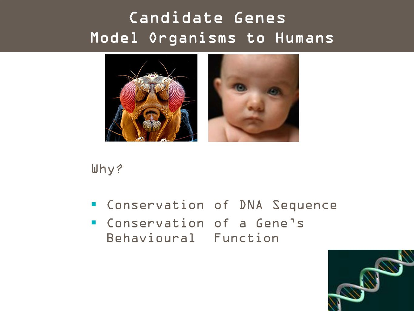 Why?  Conservation of DNA Sequence  Conservation of a Gene's Behavioural Function Candidate Genes Model Organisms to Humans