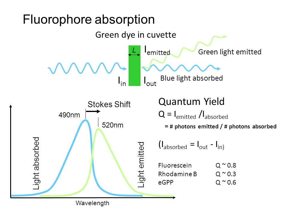 Fluorophore absorption Light absorbed Wavelength I in Blue light absorbed I out Green dye in cuvette L Green light emitted I emitted 490nm 520nm Stokes Shift Light emitted Quantum Yield Q = I emitted /I absorbed = # photons emitted / # photons absorbed (I absorbed = I out - I in) Fluorescein Q ~ 0.8 Rhodamine B Q ~ 0.3 eGPP Q ~ 0.6
