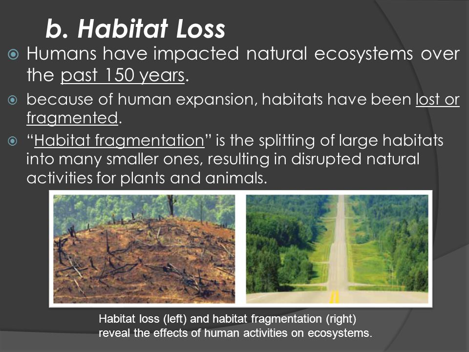 b. Habitat Loss  Humans have impacted natural ecosystems over the past 150 years.  because of human expansion, habitats have been lost or fragmented