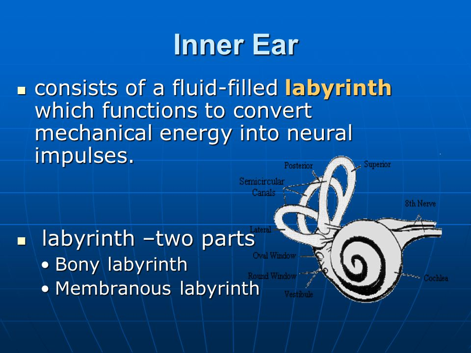 Inner Ear consists of a fluid-filled labyrinth which functions to convert mechanical energy into neural impulses. consists of a fluid-filled labyrinth