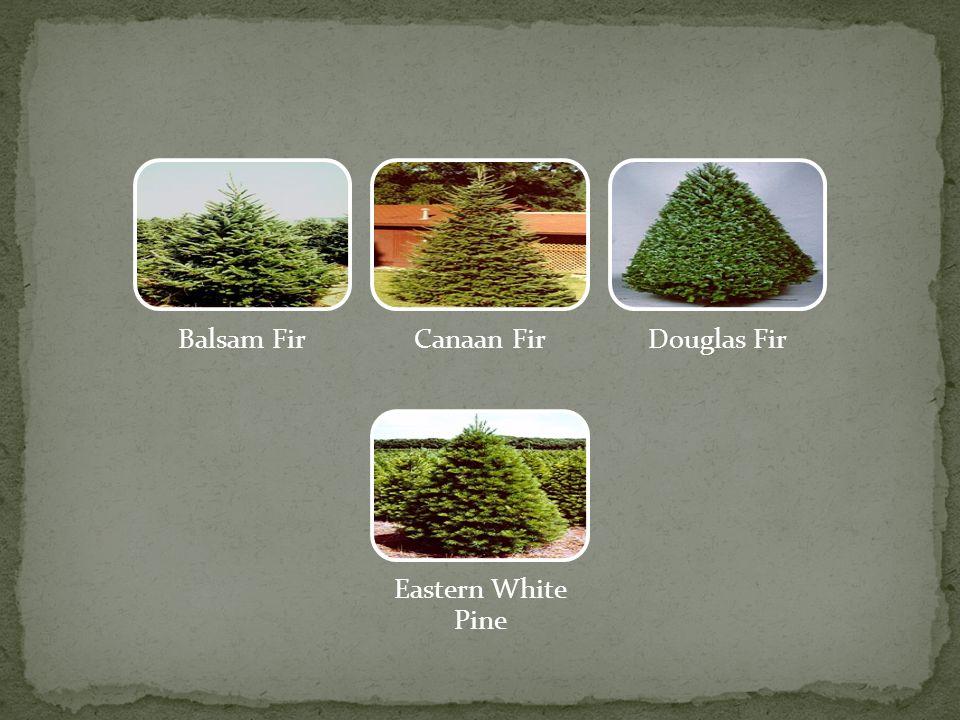 Fraser FirLeyland Cyprus Norway Spruce Virginia Pine